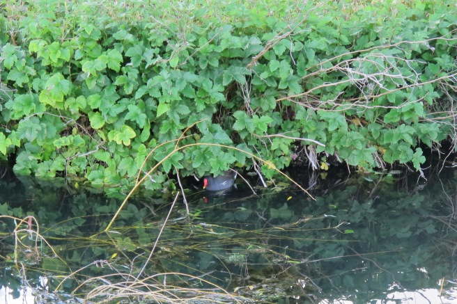 First wildlife of the day, a moorhen hiding from me