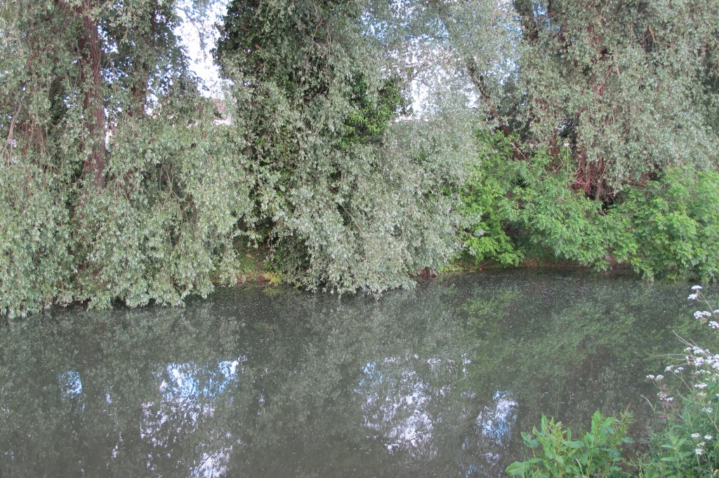 The river was covered in floating fluff from shedding plants, looked quite ethereal under the silver trees