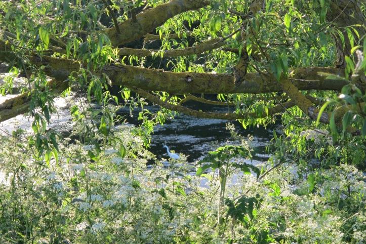Little Egret through the leaves