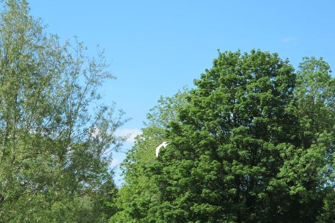 Arctic Tern mid flight as it darted away