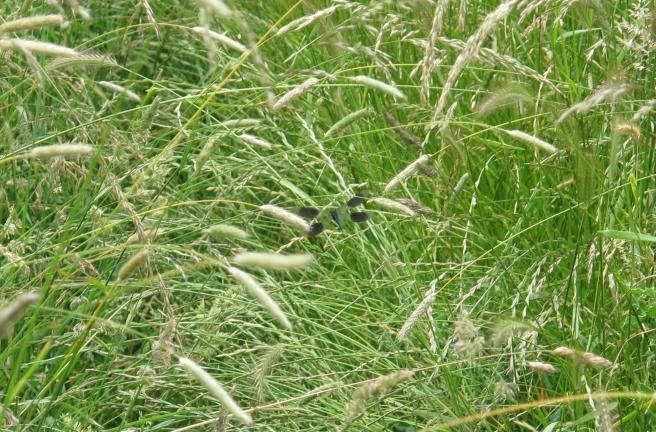 Banded Demoiselle in flight