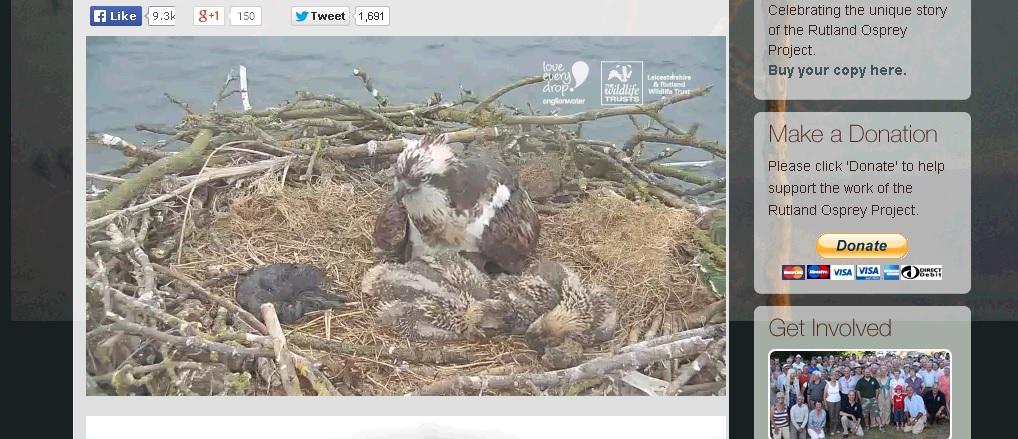 osprey and chicks webcam