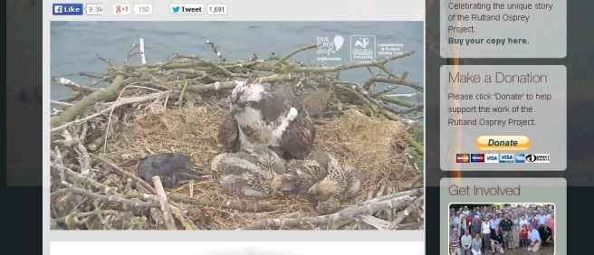 osprey and chicks webcam