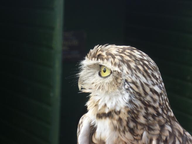 Burrowing Owl at Screech Owl Sanctuary in Cornwall