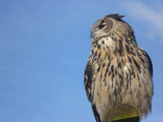 Eagle Owl from Screech Owl Sanctuary in Cornwall