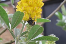 A bumble bee enjoying Pineapple broom