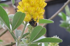 A bumble bee enjoying Pineapple broom