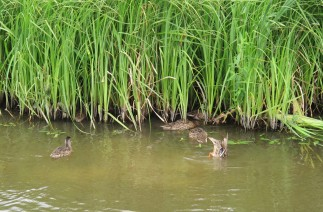 Some grown up ducklings