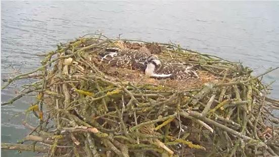 osprey chicks chilling