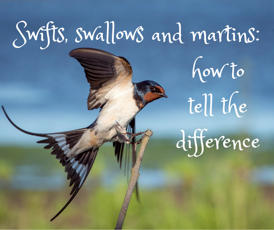 Swifts, swallows and