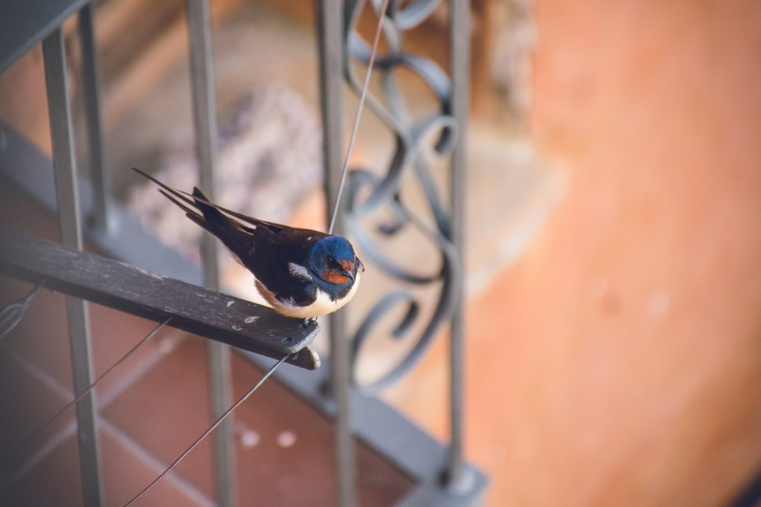 Swallow perched on a balcony