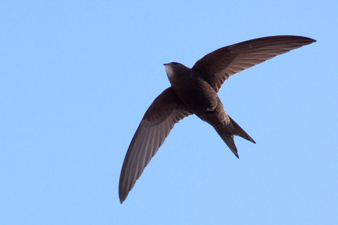 Flying swift
