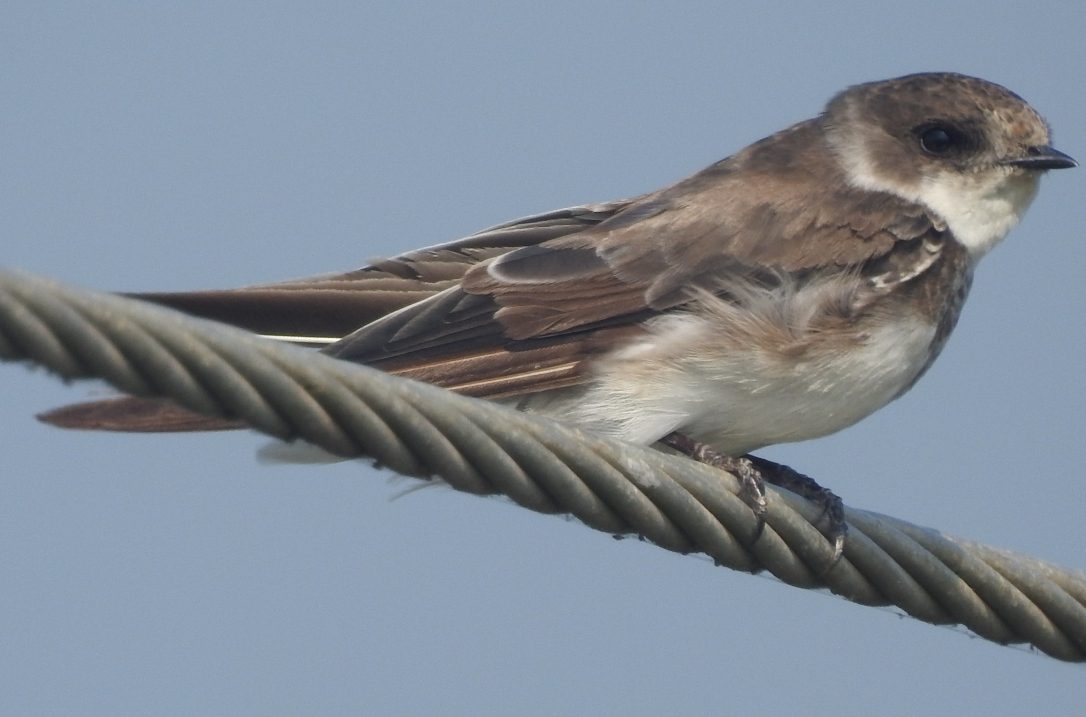 Sand martin perched on a wire