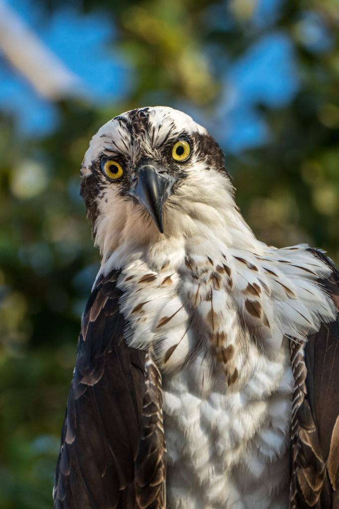 Osprey straight on with big yellow eyes